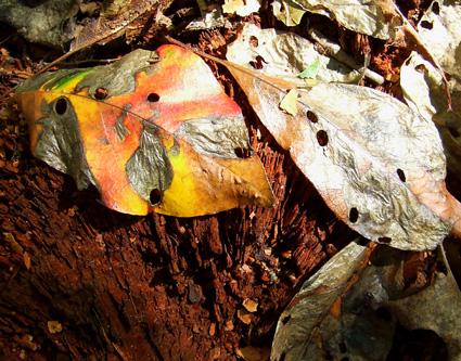 black gum leaves