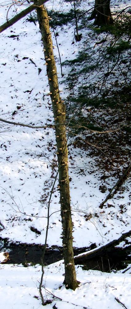 black birch with Polyporus betulina fungi