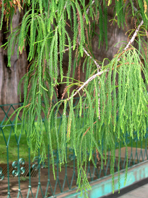 Tule tree foliage