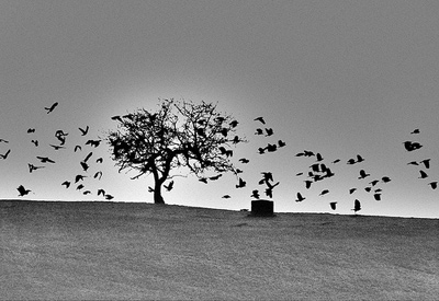 Crows by nimrodcooper