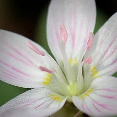 Spring Beauty by Jennifer Schlick