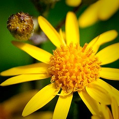 Golden Ragwort by Jennifer Schlick