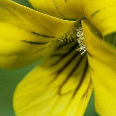 Yellow Violet by Jennifer Schlick