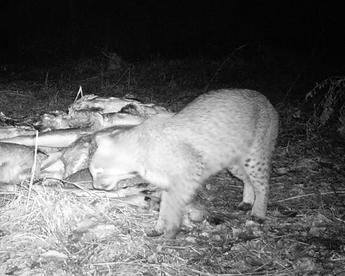 bobcat at bait pile 1