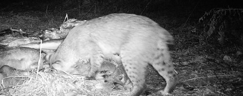bobcat at bait pile 2