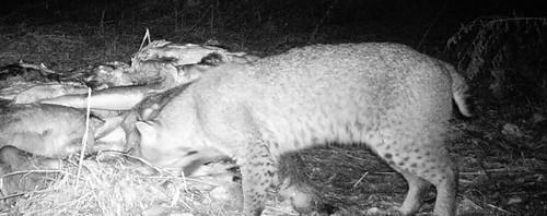 bobcat at bait pile 3