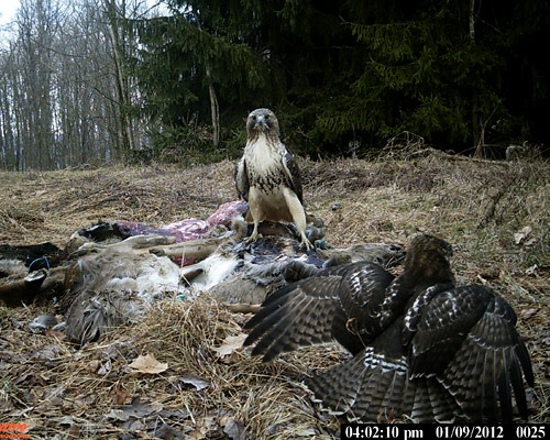 red-tailed hawks on bait pile
