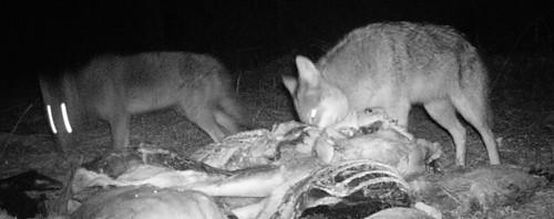 coyotes