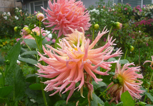 Dahlias by Jean Morris