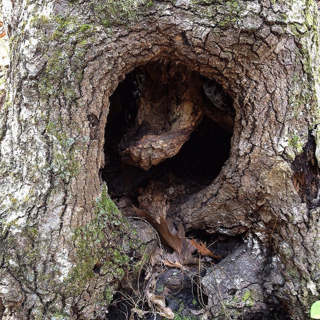 Round hollow in the base of an oak with a tongue-shaped piece of wood inside.