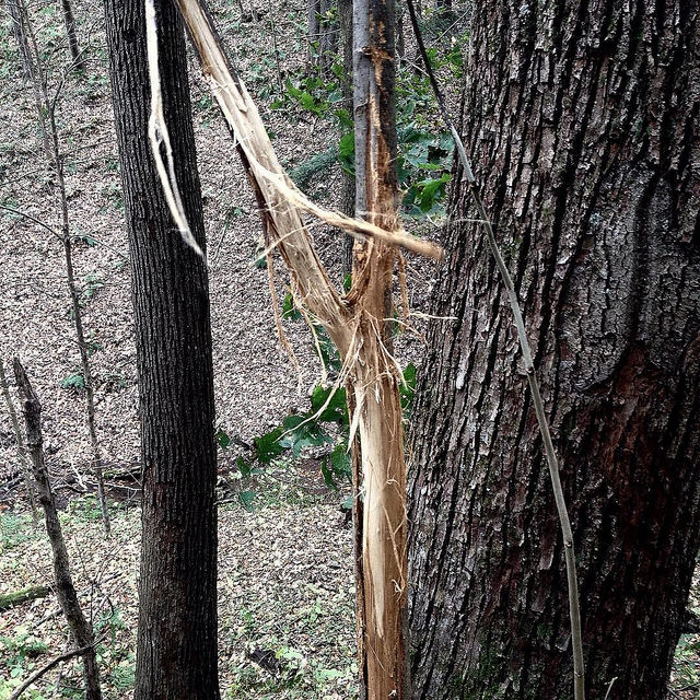 V-shaped sapling with its bark hanging loose in tatters where a buck has rubbed his antlers against it.