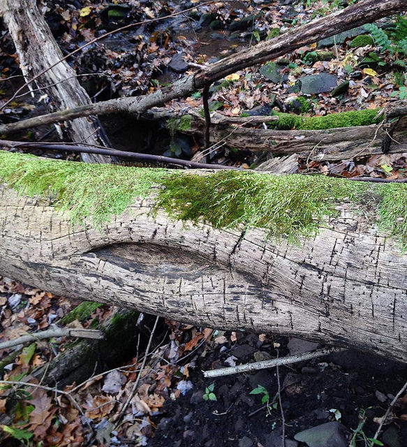 Log over stream with eye-shaped opening on the side and fur-like moss on top.