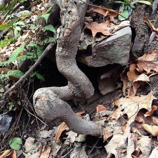 A very sinuous tree root doubling back twice before disappearing into the ground.