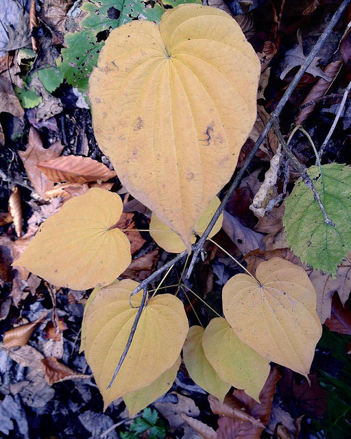 The heart-shaped leaves of wild yam.