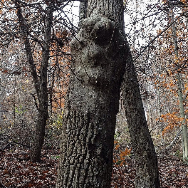 A smooth area on the bark of a black gum with bumps that could be eyes, ears, nose and mouth, each with bare twigs poking out of them.