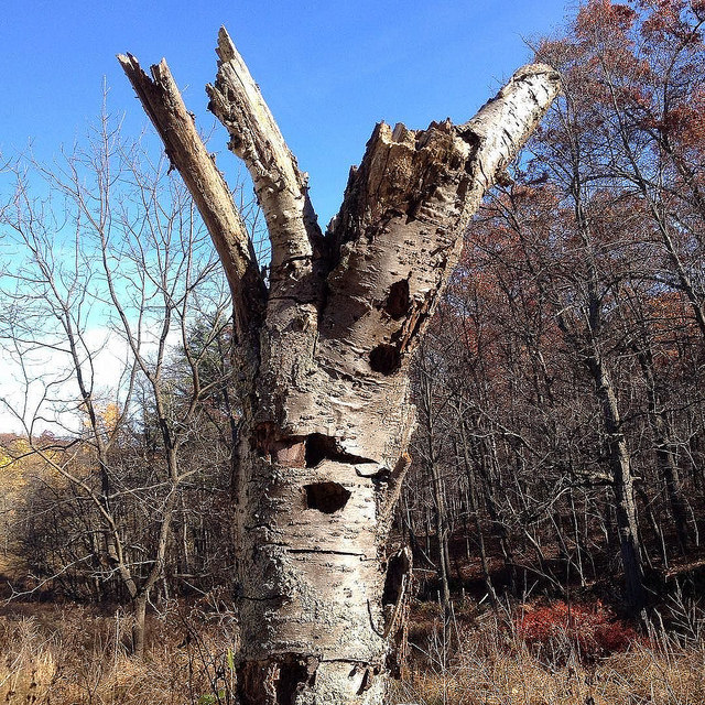 Dead cherry snag riddled with den holes.