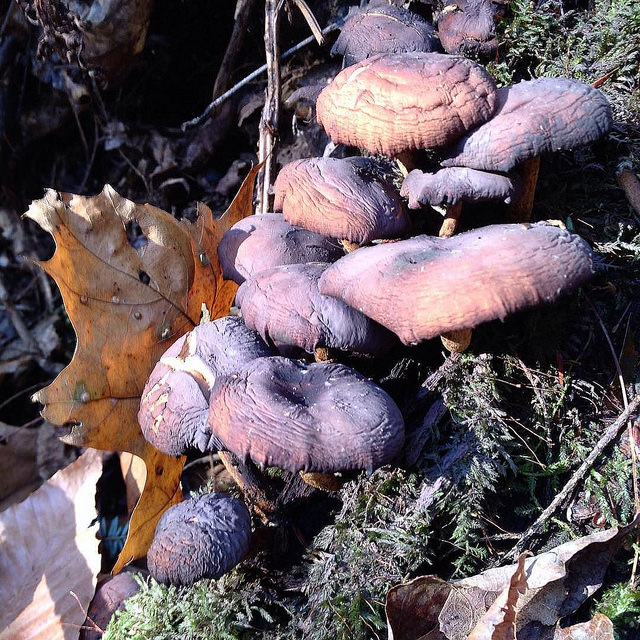Dried-out, purple mushrooms clustered together on a mossy stump.