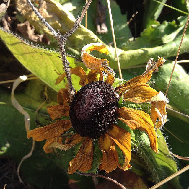 A dead Rudbeckia flower with curled and shriveled yellow petals.