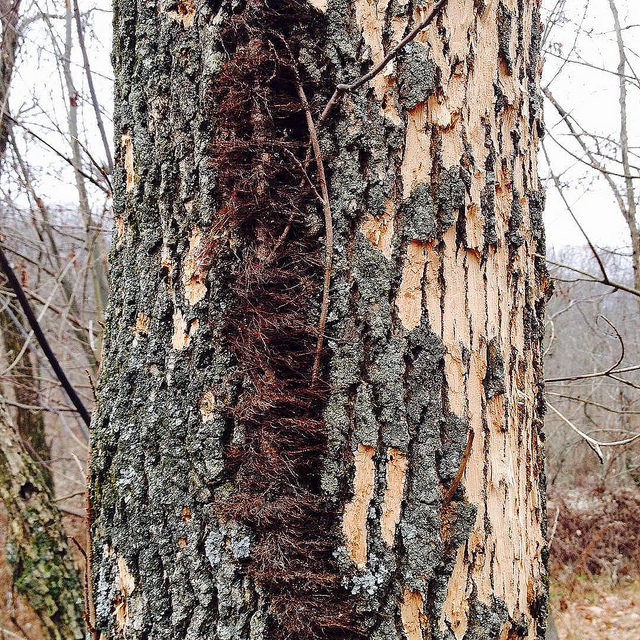 A poison ivy vine clinging to a white ash tree with half its bark gone, recent victim of the emerald ash borer.
