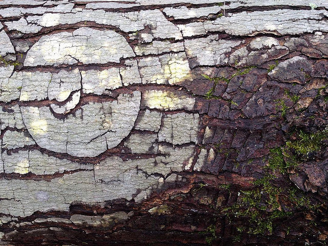 Bark patterns on a red maple log suggestive of a smugly closed eye.
