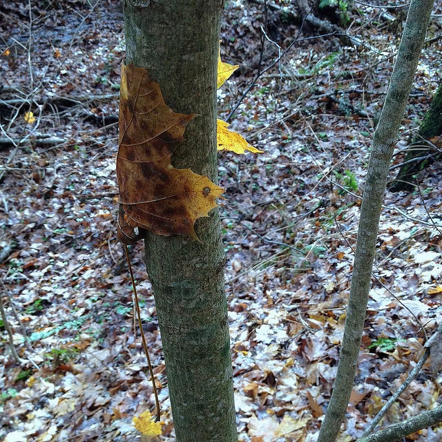 A wet sugar maple leaf curled around the trunk of a sapling a few feet from the ground.