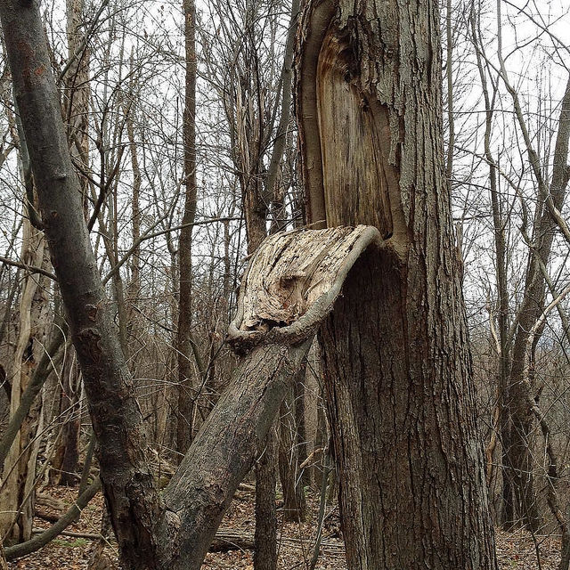 A tongue-shaped section of bark and cambium has peeled part-way off the side of a red maple when a limb fel down, but a new limb has sproated from tip of the tongue, which is clearly still alive.